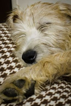 Our favorite Wheaten Terrier! Wheaten Terrier Mix, Cuddle Buddy, Companion Dog, Four Legged, Beautiful Dogs, Terriers, Ponies, Puppy Love, Cuddling
