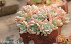 Graptoveria 'A Grim One' Pictures