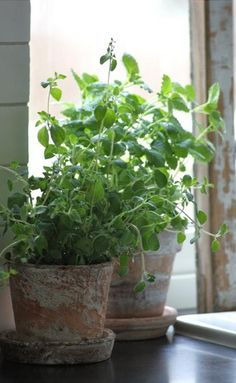 Fresh Herbs In Worn Terracottak Green Plants Potted Indoor Garden