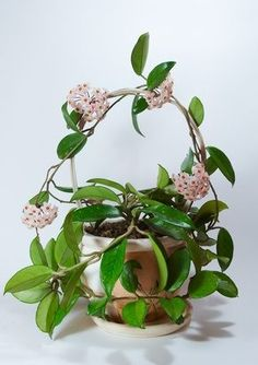 How to Make Hoya Plants Flower - Gardening House Plants - Indoor Garden, Garden Plants, Flowering House Plants, Garden Seat, Garden Table, Hindu Rope Plant, Plantas Indoor, Pot Jardin, Plantation