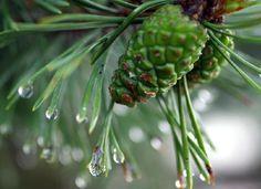 """Pine cones by alexander.esenin На кемпинге """"Серебряное озеро"""". Кемпинг 2016. Адрес активного отдыха: naseliger.ru _____________________________  #naseliger #кемпинг #рыбалка #природа #лето #туризм #путешествия #отдых #отпуск #отдыхнаприроде #летнийотдых #селигер #выходные"""