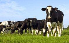 Απελευθέρωση ζωής γάλακτος: θα ανοίξει τις πόρτες για αθρόες εισαγωγές από Γερμανία και Ολλανδία και θα πλήξει την Ελληνική παραγωγή