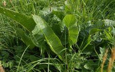 Křen selský na louce Plant Leaves, Plants, Fitness, Plant, Planets