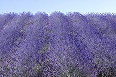 Lavender fields near Ancona, Marche, Italy