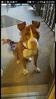 Hope, IN - American Pit Bull Terrier. Meet Bubba, a dog for adoption. https://www.adoptapet.com/pet/19283924-hope-indiana-american-pit-bull-terrier