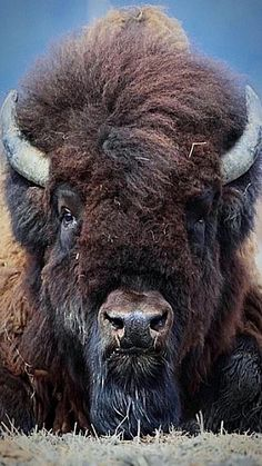 "A Wood Bison: The U. Fish & Wildlife Service published a special rule that will help clear the way to reintroduce, the once thought extinct: ""Wood Bison"" back into their historic range in Alaska. Nature Animals, Animals And Pets, Cute Animals, Strange Animals, Beautiful Creatures, Animals Beautiful, Majestic Animals, Photo Animaliere, American Bison"