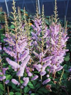 Astilbe 'Pumila' features lilac plumes over deep green glossy foliage.Pumila blooms in late summer extending the season. Full Sun Perennials, Full Sun Plants, Flowers Perennials, Herbaceous Perennials, Shade Flowers, Shade Plants, Container Plants, Container Gardening, Shade Garden