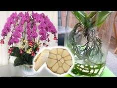 Garlic water recipe - best fertilizer for orchids to bloom House Plants, Flower Decorations, Home Flowers, Cool Plants, Beautiful Orchids, Growing An Avocado Tree, Orchid Fertilizer, Orchids, Flowers