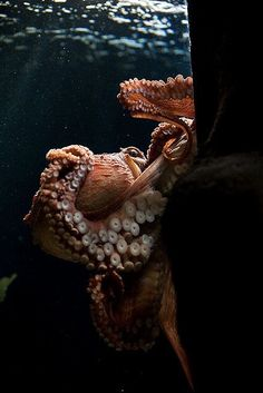 UP CLOSE photo of octopus tentacles and suction cups. UNDERWATER GLORY.