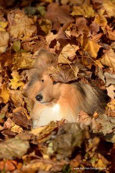 Sheltie Tjure Los, such´ mich! Hundename: Tjure / Rasse: Sheltie Mehr Fotos: https://magazin.dogs-2-love.com/foto/sheltie-tjure/ Foto, Herbst, Hund