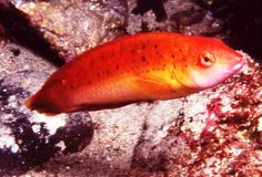 Blackspotted Wrasse (adult=male) NW Coast KI SA  Underwater photographer:  David Muirhead