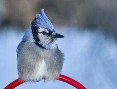 Bluejay - Geai bleu Blue Jay, Photos, Animals, Animales, Pictures, Animaux, Animal, Cake Smash Pictures, Animais