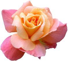 transparent-flowers: Rosaceae Rosa. (x).