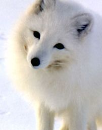 arctic fox #arctic #fox #animal