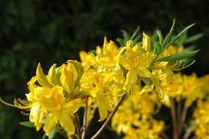Gerade gefunden auf http://shop313566.fineartprint.de wilde Azalee, Natur, Pflanzen, Landschaft, Blumen, Blüten, Bauerngarten, Garten