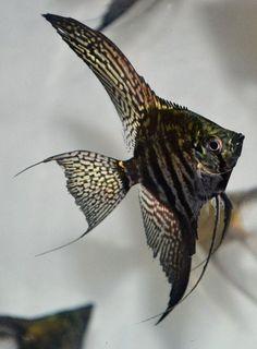 PINOY ZEBRA ANGELFISH   Looks like I found the angelfish I want #AquariumAccessories #TropicalFishAquariumIdeas