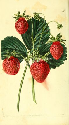 Old Pine or Carolina Strawberry      ...