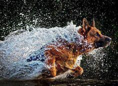 German shephered Dog in water