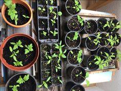 Die Tomatenpflanzen sind bereit für den Start der Saisongartensaison Succulents, Plants, Lawn And Garden, Succulent Plants, Plant, Planets
