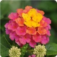 """Lantana- I love these """"Firework"""" flowers! Had a few of them years ago and never could remember the name."""