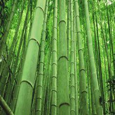 Poco a poco y cada vez para más personas, el bambú comienza a ser sinónimo de un material útil y potente. Históricamente, esta planta que posee más de 1.000 especies, nos remitió al mundo oriental, pero curiosamente Latinoaméricacontiene el 32% de las plantaciones mundiales.  El bambú pertenece a la familia de las gramíneas y su tamaño varía según su especie pudiendo llegar a los 25 mts de altura. También lashay de crecimiento tan veloz que en época de lluvia alcanza a crecer 1 mt por…