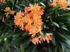 Image result for clivia belgium hybrid All Plants, Live Plants, Bloom Blossom, Tropical Garden, Orange Flowers, Evergreen, Shrubs, Perennials, Flower Arrangements