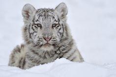 White Tiger Winter Cub