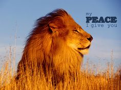 lion-peace-wallpaper    http://wallpaperscristaos.com.br/christianwallpapers/my-peace