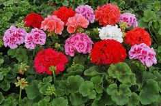 Cu doar o singură picătură de iod muşcata vă va bucura mereu cu florile sale! Sfaturi utile. - Perfect Ask Geraniums, Essential Oils, Gardening, Plant, Garten, Lawn And Garden, Garden, Square Foot Gardening, Garden Care
