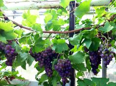 90-year old plant in the greenhouse at Rottneros, Wermland. Sweet and delicious grapes in fall...species?