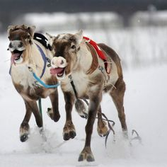 oh my god, these are the cutest little reindeer!! I need to do this one day - Reindeer racing in Finland
