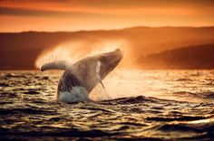 Newfoundland, Canada This image was captured as we were returning from a fruitless search for active Humpback whales. We had given up, as the sun was setting, and were returning to harbour, when this young Humpback started breaching right in front of us. Sometimes, you just get lucky!