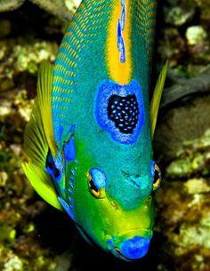 Angelfish - Queen Angelfish