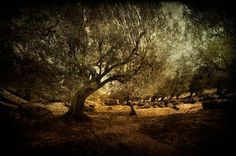 Archival print | Olive Grove | Greece