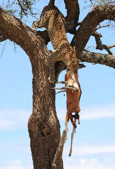 Recently, photographer Cindy Corcoran captured this amazing scene of a leopard returning to a tree where she had stored an earlier kill. The cat carries the gazelle back down to the ground, presumably to bring to her cubs…