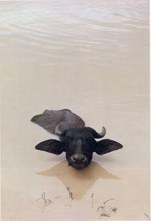 Cows in Water -Online Browsing-: Odyssey: The Art of Photography at National Geographic (part 2)