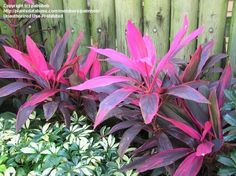 Cordyline terminalis (Ti Plant/Tree, Hawaiian Ti, Good Luck Plant/Tree)
