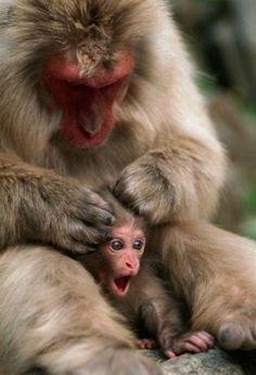 Monkey grooming baby