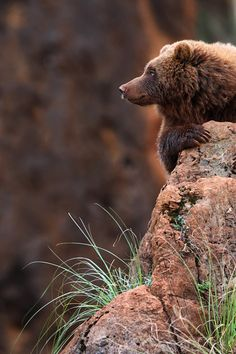 """""""Bear on the look-out"""" by Mark Leeman"""