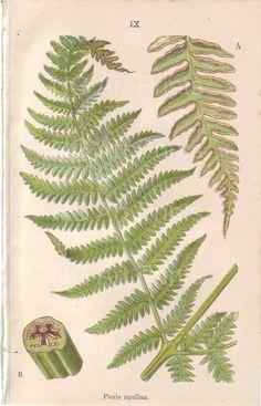 Antique Fern Print, Antique Botanical Print, 1800s British Natural History, Thomas Moore British Ferns, Victorian Bookplate 9