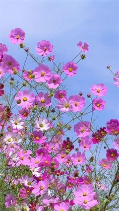 I always plant rows of cosmos. I always plant rows of cosmos. Bunch Of Flowers, Pretty Flowers, Tropical Flowers, Spring Flowers, Cosmos Flowers, Cosmos Plant, Flower Pictures, Flower Wallpaper, Amazing Flowers