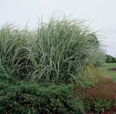 Silver Grass 'Variegatus' • Miscanthus sinensis 'Variegatus' • Morning Light 'Variegatus' • Plants & Flowers • 99Roots.com