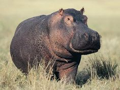 african hippos - Google Search