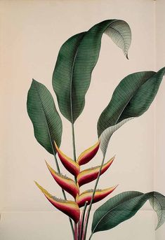 307277 Heliconia bihai (L. / Kerner, J., Hortus sempervirens, vol. Botanical Wall Art, Botanical Drawings, Botanical Prints, Plant Painting, Plant Art, Plant Illustration, Botanical Illustration, Indoor Flowering Plants, Tropical Art