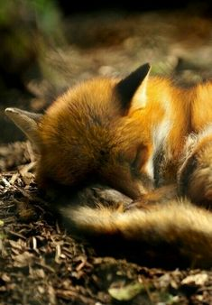 Nap time Fox, Foxes, Red Fox