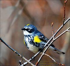 Yellow-rumped Warbler by kdee64, via Flickr