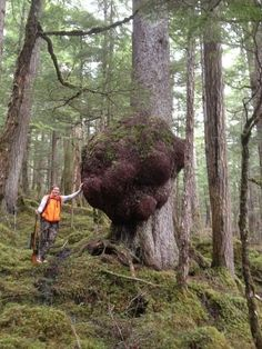 While hunting in Douglas woods last week, Bryce Iverson and Matt Kern found a spruce tree growing the largest tree burl they - or anyone they talked to - had ever seen.