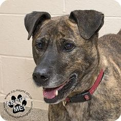 Pictures of Olive a Shepherd (Unknown Type) Mix for adoption in Troy, OH who needs a loving home.