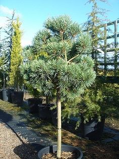 pinus sylvestris Chantry Blue
