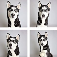 The Humane Society came up with a fun and unique way to help their shelter dogs find forever homes by making them stand out. Funny Animal Pictures, Cute Funny Animals, Funny Cute, Dog Pictures, Funny Dogs, Hilarious, Humane Society, Cute Puppies, Cute Dogs